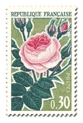 Série des Roses  - Rose ancienne -