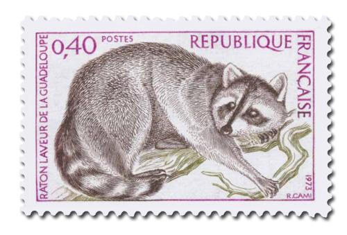 Raton laveur de la Guadeloupe